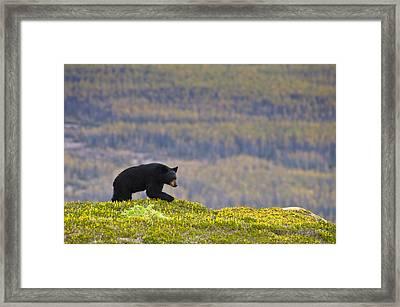 A Black Bear Foraging For Berries Near Framed Print by Michael Jones