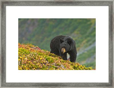 A Black Bear Foraging For Berries On A Framed Print by Michael Jones