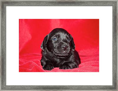 A Black Labrador Retriever Puppy Lying Framed Print