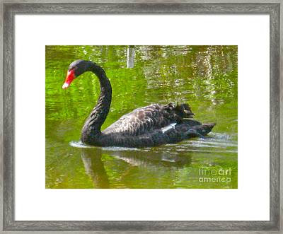 A Black Swan Swimming Framed Print