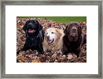 A Black, Yellow, And Chocolate Labrador Framed Print by Jaynes Gallery