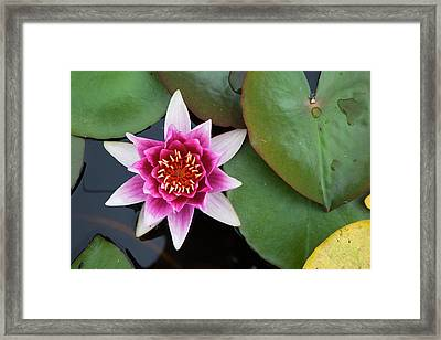 A Blooming Pink Lotus Flower  Scottish Framed Print