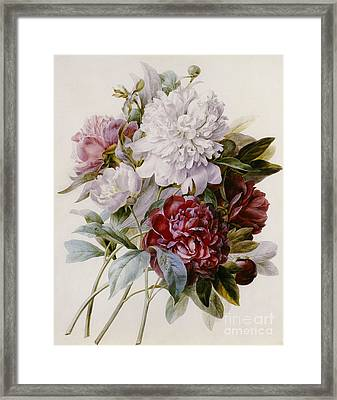 A Bouquet Of Red Pink And White Peonies Framed Print by Pierre Joseph Redoute