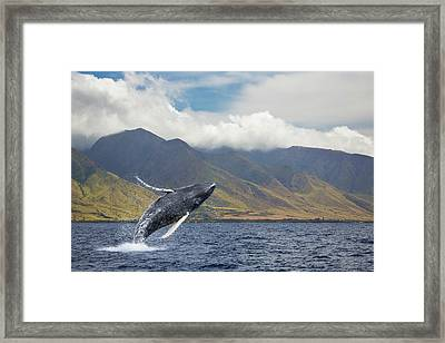 A Breaching Humpback Whale  Megaptera Framed Print by Dave Fleetham