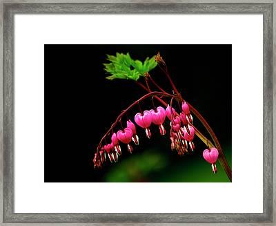 A Bright Bleeding Heart Flower Framed Print by Sheila Haddad