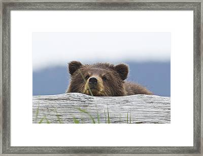 A Brown Bear Cub Rests Its Head On A Framed Print by John Hyde