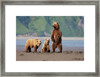 A Brown Bear Mother And Cubs Walks Framed Print