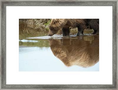 A Brown Bear, Ursus Arctos, Reflected Framed Print by Bob Smith