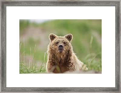 A Brown Bear Walks Through Dune Grass Framed Print