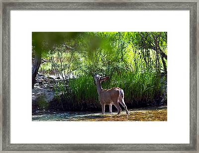 A Buck Feeding Framed Print