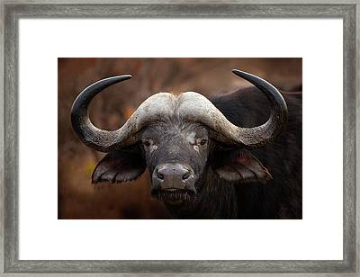 A Buffalo Portrait Framed Print