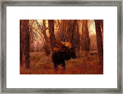 A Bull Moose In The Woods Framed Print