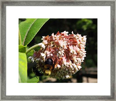 Framed Print featuring the photograph A Bumble Bees Feast by Deborah Fay