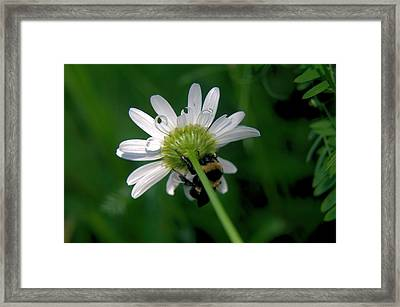 A Bumble On The Wrong Side Framed Print