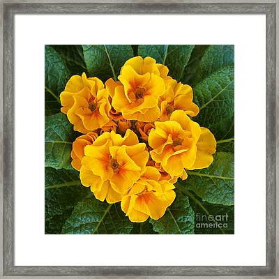 A Bunch Of Yellow Flowers Framed Print by Kenny Bosak