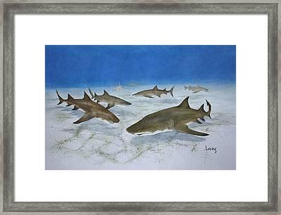 A Bushel Of Lemon Sharks Framed Print by Jeff Lucas