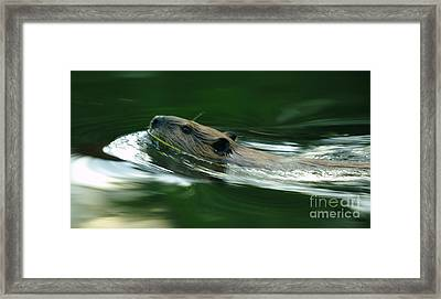 A Busy Beaver  Framed Print by Jeff Swan