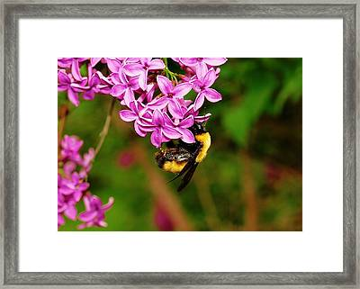 A Busy Bee Framed Print