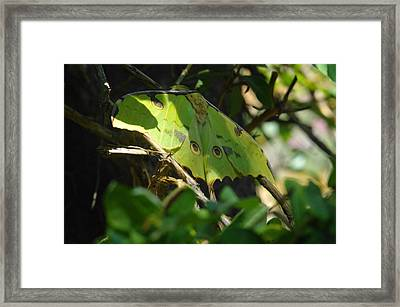 A Buttterfly Resting Framed Print by Jeff Swan