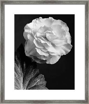 A Camellia Flower Framed Print