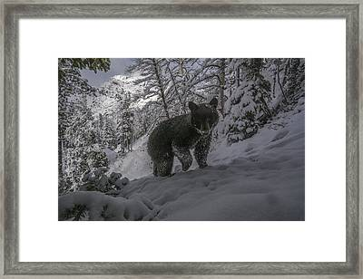 A Camera Trap Captures A Bear At Eagle Framed Print by Joe Riis