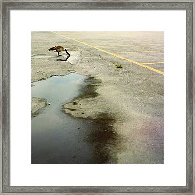 A Canada Goose Drinks From A Puddle Framed Print
