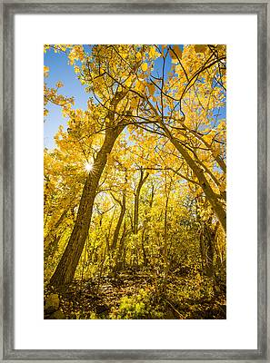 A Canopy Of Aspens At Mcgee Creek In The Eastern Sierras Framed Print