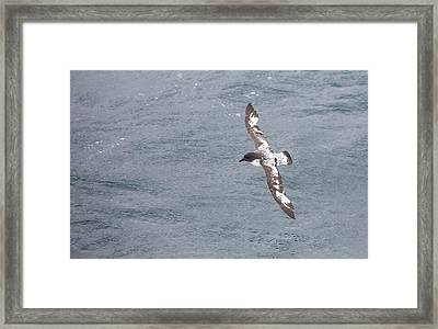 A Cape Petrel Flying In The Drake Passage Framed Print by Ashley Cooper
