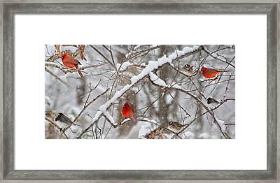 A Cardinal Snow Framed Print
