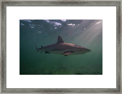 A Carribbean Reef Shark Swims Framed Print