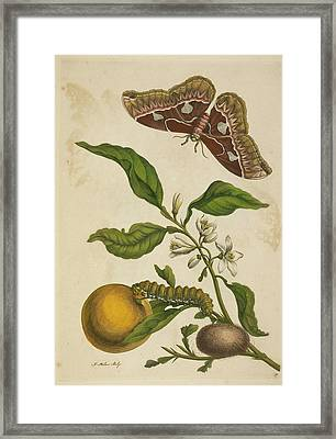 A Caterpillar Feeding. A Butterfly Framed Print by British Library