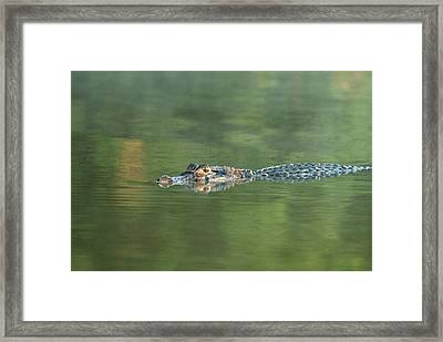 A Cayman Floats In Sandoval Lake Framed Print