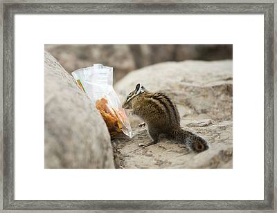 A Chipmunk Sniffs A Bag Of Dried Fruit Framed Print