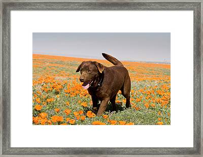 A Chocolate Labrador Retriever Walking Framed Print by Zandria Muench Beraldo