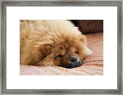 A Chow Chow Puppy Lying On A Tan Framed Print