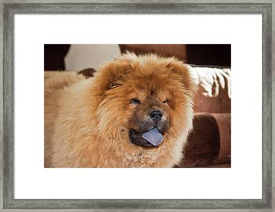 A Chow Chow Puppy Standing Indoors Framed Print by Zandria Muench Beraldo