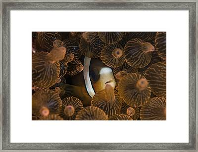 A Clarks Anemonefish Nuggles Framed Print by Ethan Daniels