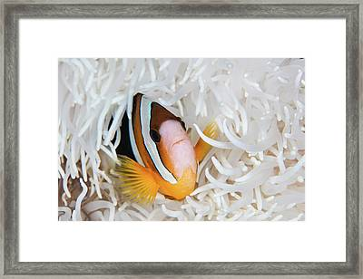 A Clarks Anemonefish Swims Among Framed Print by Ethan Daniels