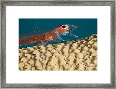 A Close Look At A Whip Coral Goby _bryaninops Amplus_ As It Is Opening It_s Mouth On Whip Coral Off The Island Of Yap_ Yap, Micronesia Framed Print
