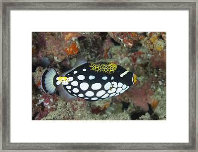 A Clown Triggerfish In The Maldives Framed Print by Science Photo Library