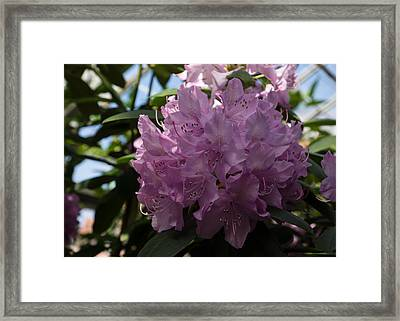 A Cluster Of Hot Pink Rhododendron Flowers Framed Print by Georgia Mizuleva