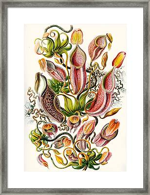 A Collection Of Nepenthaceae Framed Print by Ernst Haeckel