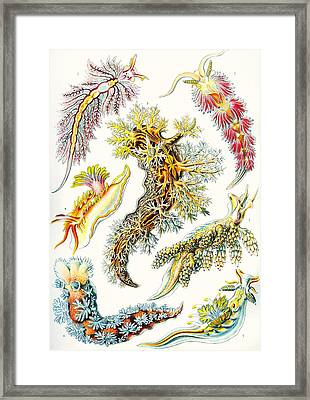 A Collection Of Nudibranchia Framed Print by Ernst Haeckel