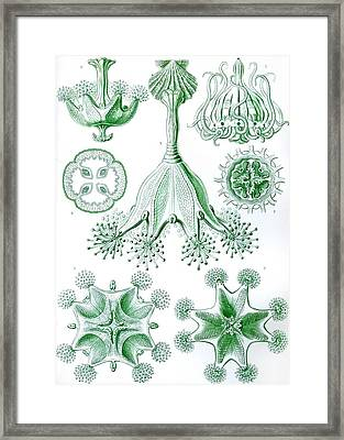 A Collection Of Stauromedusae Framed Print by Ernst Haeckel