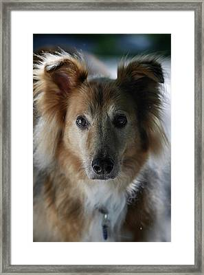 A Collie And Golden Retriever Mix Dog Framed Print by Al Petteway & Amy White