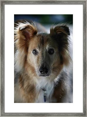 A Collie And Golden Retriever Mix Dog Framed Print