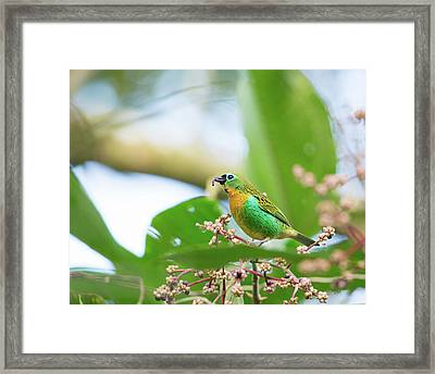 A Colorful Brassy-breasted Tanager Framed Print by Alex Saberi