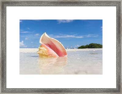 A Colorful Conch Shell Sits Framed Print