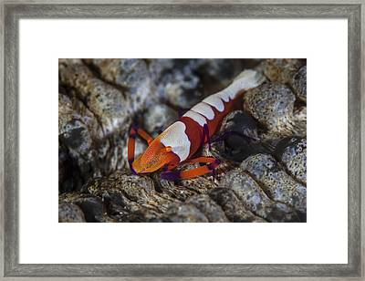 A Colorful Emperor Shrimp Sits Atop Framed Print by Ethan Daniels