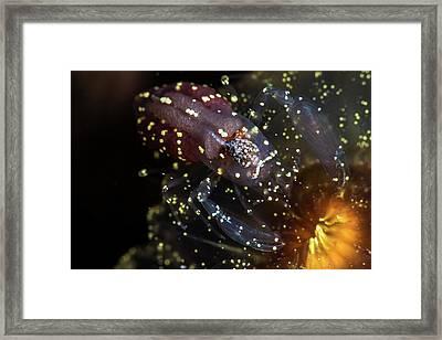 A Commensal Shrimp On An Anemone Framed Print